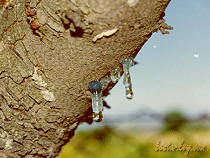 Çeşme Sakız Ağacı