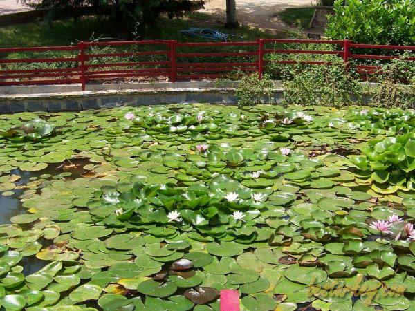 Nezahat Gökyiğit Botanik Bahçesi Nilüfer Havuzu