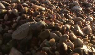 Çıralı Caretta Caretta Kaplumbağaları