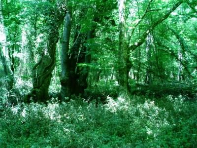 Demirköy Bulanık Meşe Ağaç Ormanı